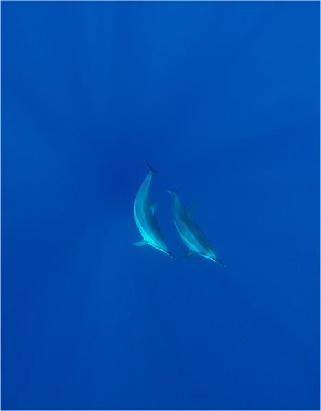 ハワイのイルカ