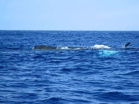 ハワイのクジラ